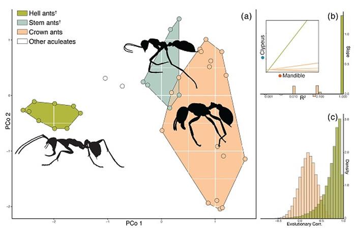 不同蚂蚁的形态空间分析