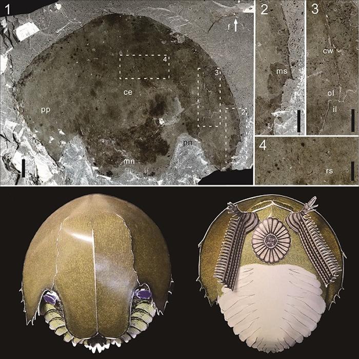 来自华北寒武纪中期馒头组顶部的寒武耙虾Cambroraster标本和复原模型背视和腹视效果