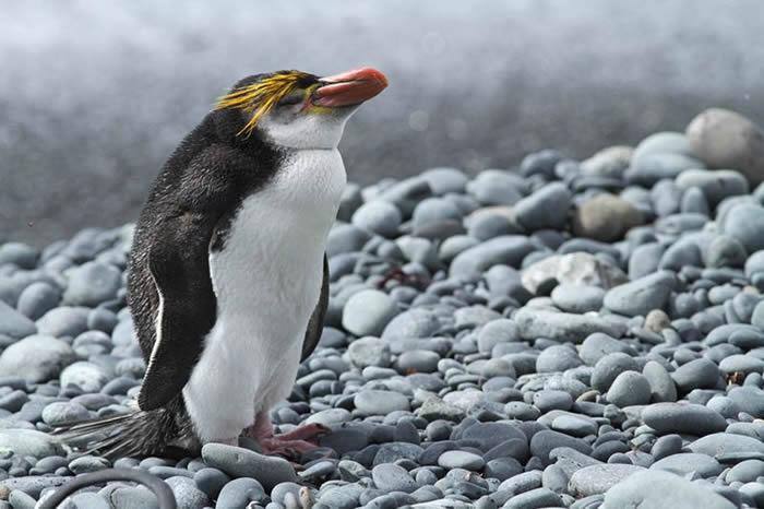 基因组研究表明现代企鹅大约在2200万年前出现在澳大利亚和新西兰的沿海水域