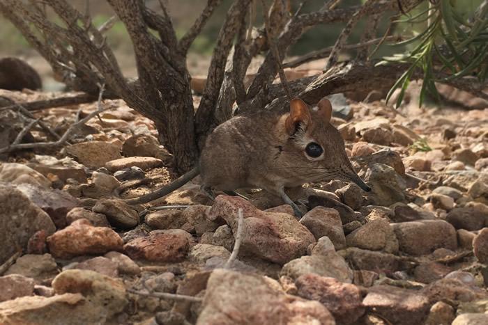 消失已久的物种Somali sengi在东非国家吉布提被重新发现