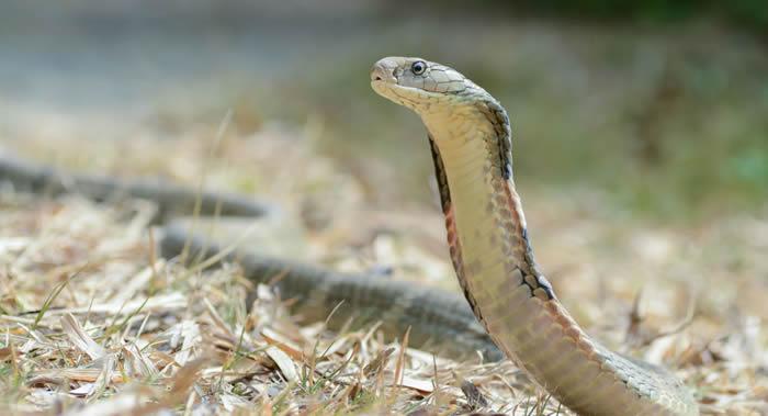 人类具有本能地识别有毒蛇并将其与无毒蛇相区分的能力