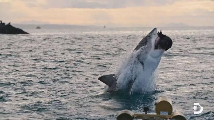 Discovery频道《鲨鱼周》的空中巨鲨:大白鲨跃出海面4.6公尺空中翻转狠咬猎物