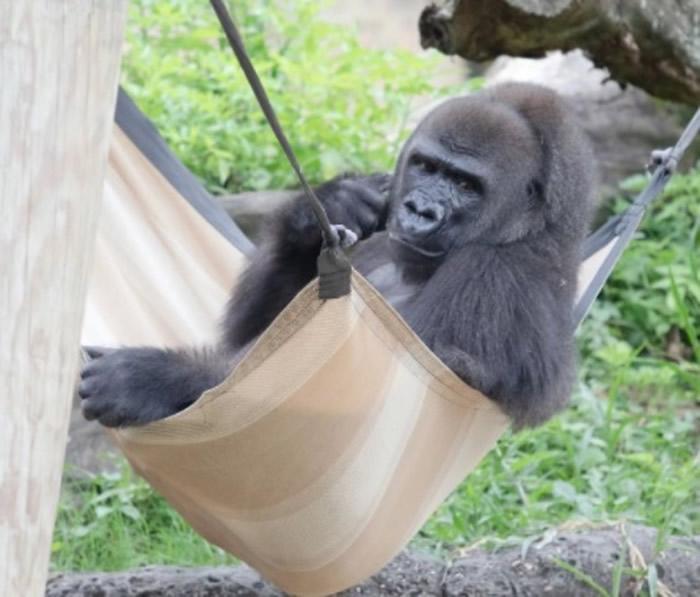 美国路易斯安那州动物园怀孕濒危西部低地大猩猩将分娩 呼吁好心人捐所需物资