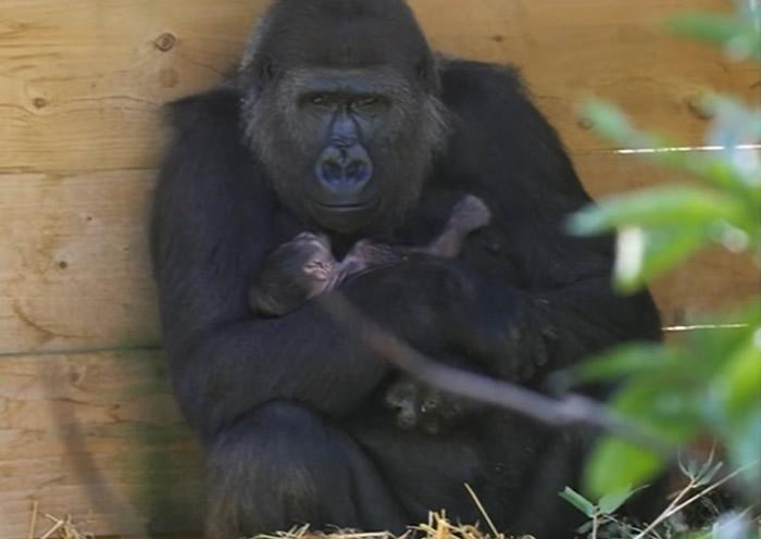 英国布里斯托尔动物园一只曾在去年丧儿的西部低地大猩猩再诞下宝宝
