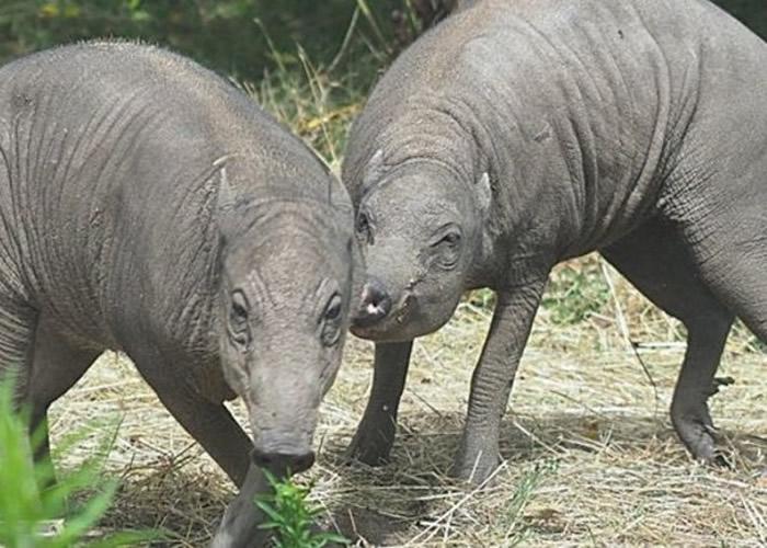 """英国伦敦动物园迎来一对被称为""""全球最丑样猪""""的鹿豚"""