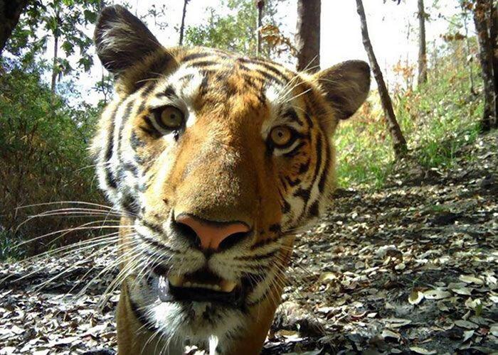 """拍到""""好奇虎"""":泰国中部北碧府考廉国家公园内监视镜头近距离拍到野生老虎大头照"""