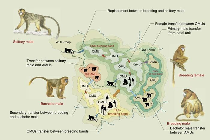 以金丝猴为代表的灵长类动物的重层社会的起源、本质特征和演化过程