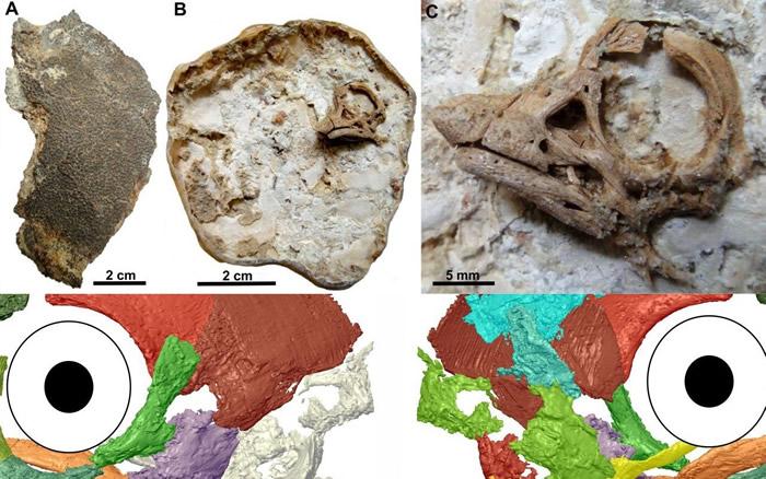 在阿根廷巴塔哥尼亚发现的一枚恐龙蛋有着令人惊讶的胚胎头骨特征