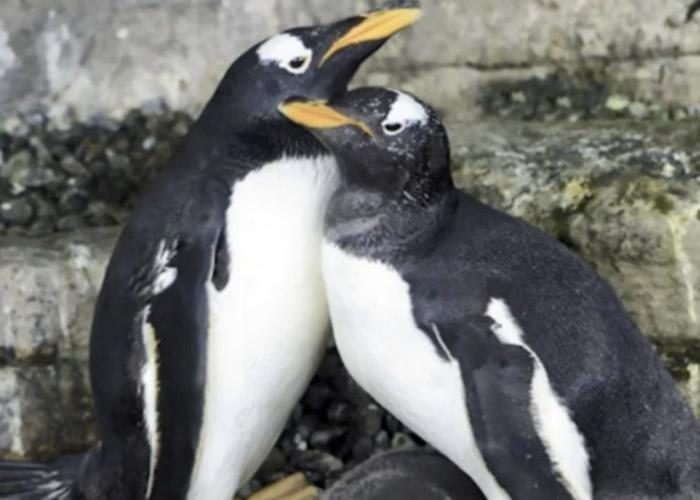 西班牙巴伦西亚海洋公园内一对同性企鹅夫妇 成功孵化另一对企鹅夫妇诞下的蛋