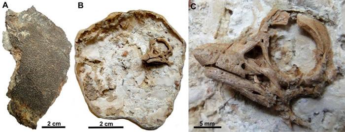 """3D""""还原""""阿根廷巴塔哥尼亚发现的8000万年前泰坦龙胚胎面部特征"""