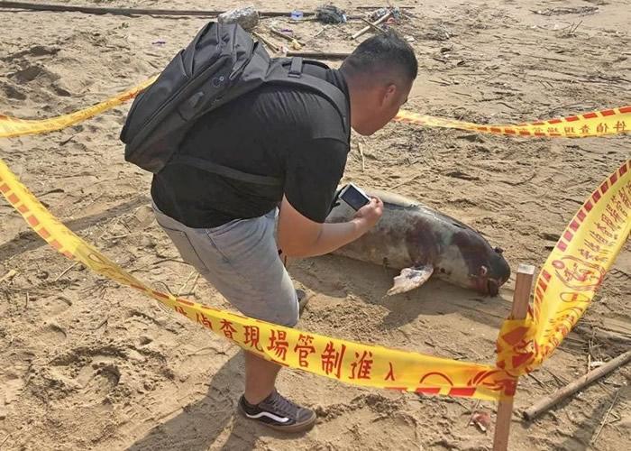 """台湾金门新头海岸发现俗称""""江豚""""的宽脊鼠海豚尸体 今年第15宗"""
