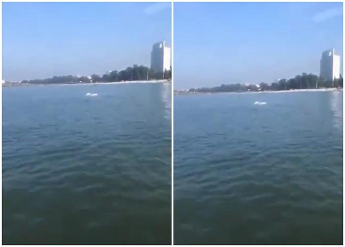 广西北海银滩出现2只成年中华白海豚 专家称实属罕见