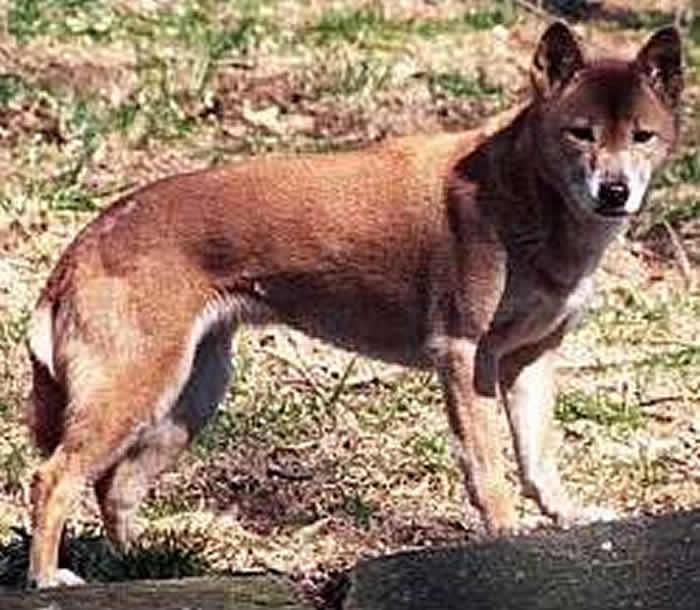 """狗界歌神新几内亚""""唱犬""""消失半世纪 探险队新几内亚重获DNA样本"""