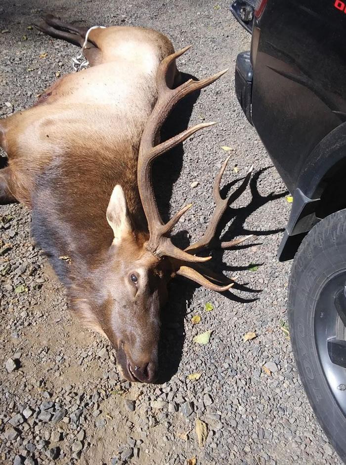 Oregon Live网站:美国蒂拉穆克郡一只麋鹿杀死用弓箭射伤它的猎人