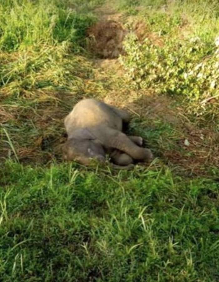 马来西亚柔佛州一只小象遭路杀 母象呆守身旁不断摇晃小象尸体