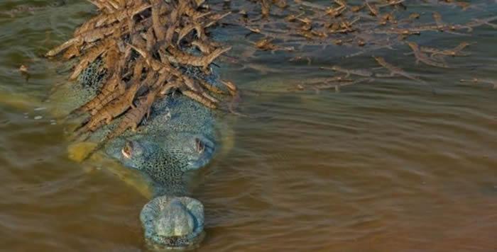 印度昌巴尔河国家自然保护区抓拍到雄性恒河鳄(食鱼鳄)背负数十条小鳄鱼的情景