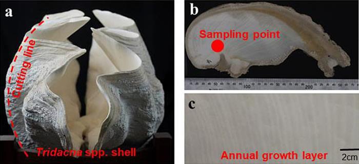 (a)亚化石砗磲壳体;(b)沿切割线切开得到砗磲生长横截面;(c)砗磲年生长纹层。