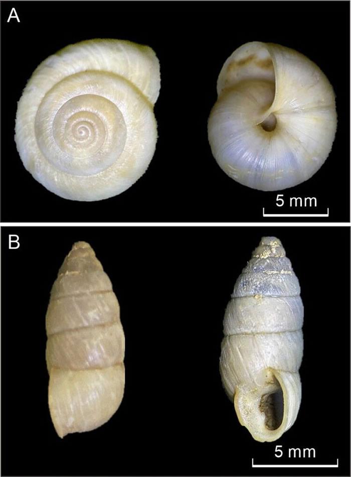 蜗牛壳体照片.A. 红山华蜗牛; B. 奇异螺