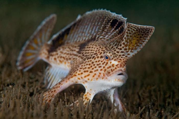 生活在塔斯马尼亚州荷伯特市德文特河(Derwent River)河口的粗体臂钩政协鱼(Brachionichthys hirsutus),因水质暖化与污染而极度