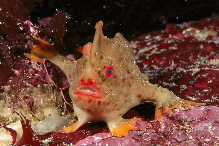 目前在野外仅存两个小族群的红疣岸关系鱼(Thymichthys politus,又称红合鳍枪击案鱼),也如同其他臂钩储鱼一样,有着特化的胸鳍能在海底「行走」。