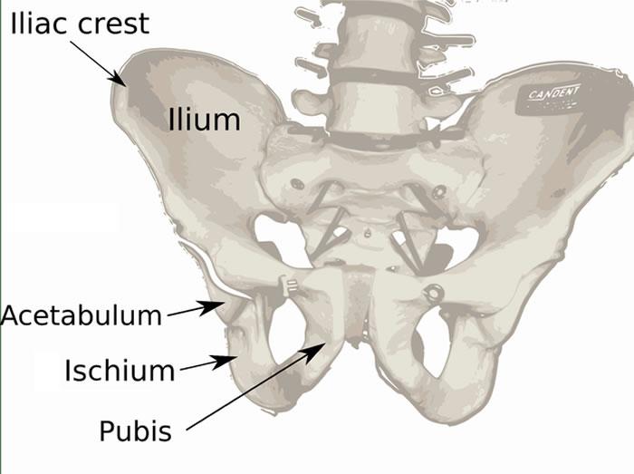 骨盆是由三部分构成:两块髋骨和一块骶骨,每块髋骨是由3个骨骼构成(髂骨、坐骨和耻骨),它们在生长和发育过程中逐渐融合在一起。