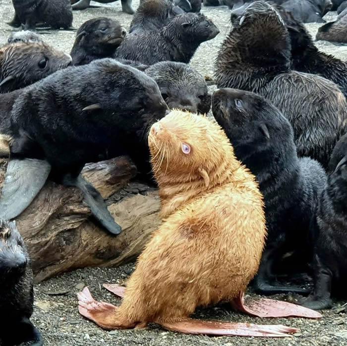 俄罗斯生物学家在鄂霍次克海发现罕见棕黄色毛皮的海狗幼崽