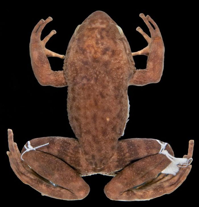巴西重新发现几种失踪的蛙类 其中一种青蛙已经有50多年未被看到过