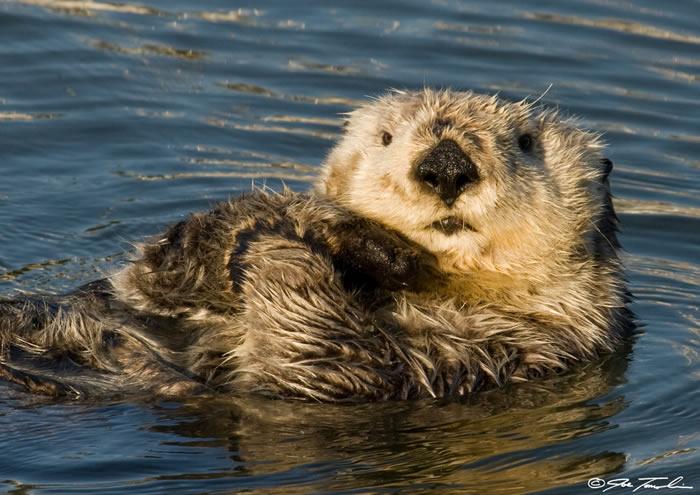 阿拉斯加阿留申群岛海域中海獭种群的持续减少 海胆会过度摄食海藻