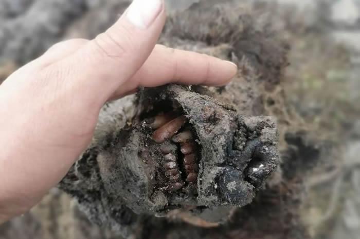 俄罗斯雅库特大利亚霍夫岛发现保留有软组织的洞熊遗骸