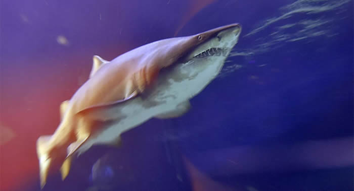 澳大利亚黄金海岸海滩使用无人机防范鲨鱼攻击
