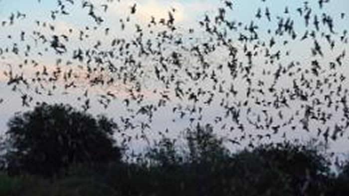 一大群蝙蝠进入美国国家气象局(NWS)雷达的视线 气象学家最初认为是雨云