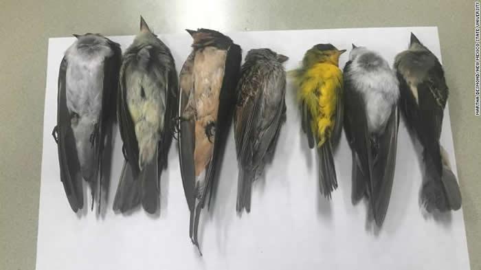 美国美新墨西哥州出现大量鸟类死亡诡异现象