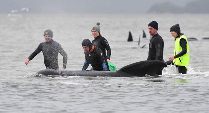 数百只鲸鱼在澳大利亚塔斯马尼亚岛偏远西岸沙嘴上搁浅
