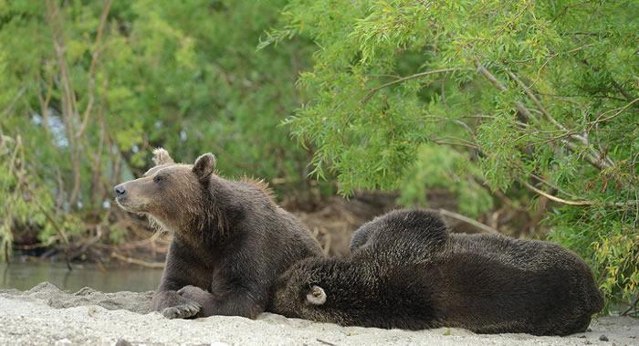 100年多以来首次有野熊回到切尔诺贝利地区