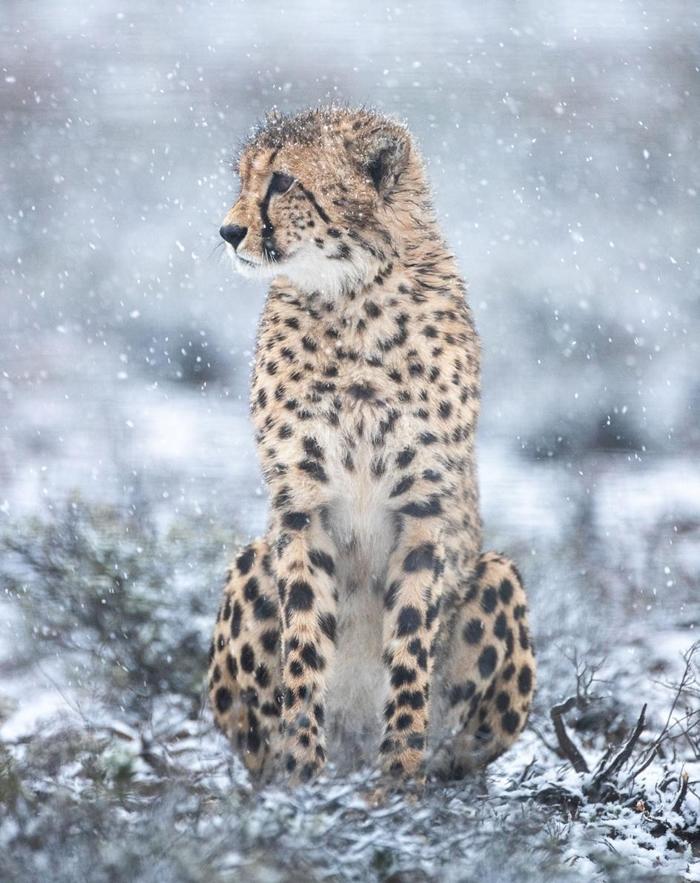 一只最近野放到罗格克鲁夫自然保护区的公猎豹在探索环境。这些新移入的猫科动物起初会被放在「博马」(boma)里,也就是栏舍,目的是让它们熟悉新环境。莫娜(Mona