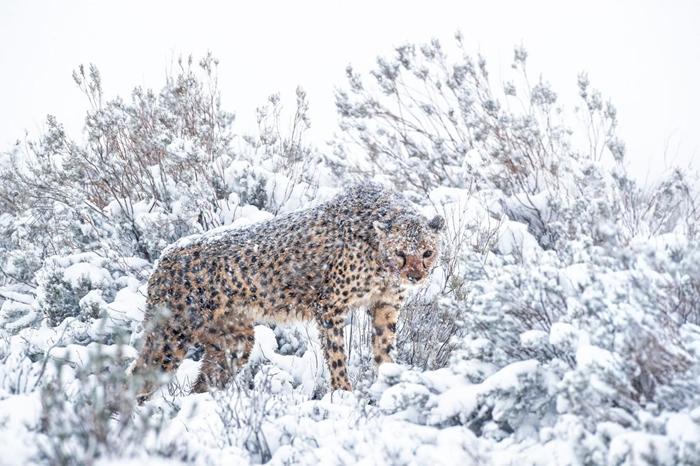 莫娜(Mona)是该保护区内最年长的母猎豹,它在人类身边非常自在。