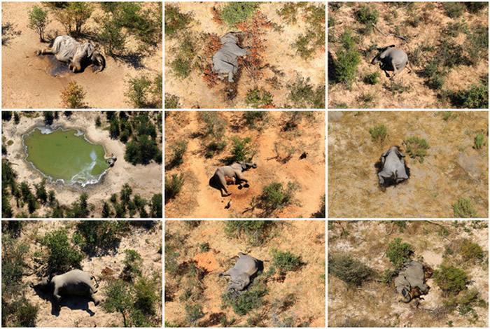 """非洲波扎那330头大象离奇暴毙事件 罪魁祸首是存在水源中的""""蓝绿藻""""产生的毒素"""
