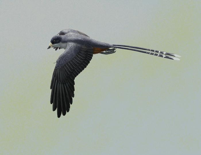 图一:古鸟类孔子鸟的复原图。孔子鸟的体型与乌鸦相若,是其中一种最早的带喙鸟类。有数百件保存完好的标本曾在中国东北部出土。图片提供 :Gabriel Ugueto