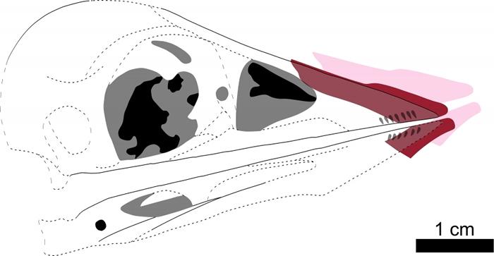 """图三:根据图二重建的孔子鸟嘴鞘""""软喙""""。虚线和灰色区域代表缺失或存疑的化石细节。粉红色部分代表现时嘴鞘的位置,红色代表原先的位置。图片提供:Case Vince"""