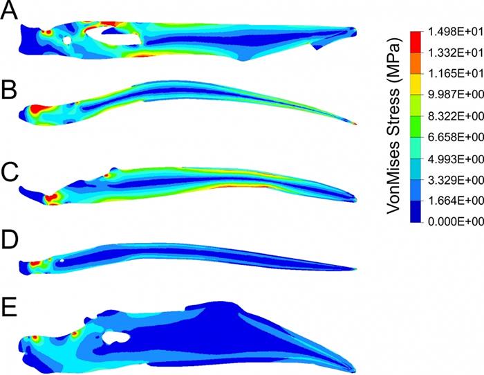 图四:首个为恐龙时期鸟类的下颚进行的强度测试。进食昆虫(B)和植物(C)的鸟类都有较弱的下颚,而进食鱼类(D)和种子(E)的鸟类拥有较强的下颚;团队发现早期带喙