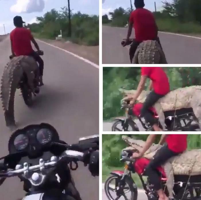 墨西哥青年在水坝捕获大鳄鱼 直接放在摩托车上骑走