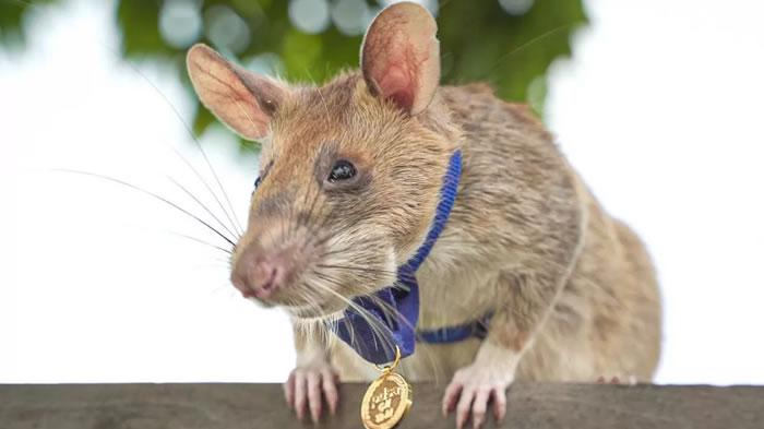 发现39枚地雷和28件未爆弹药!非洲巨颊囊鼠Magawa获得动物界乔治十字勋章