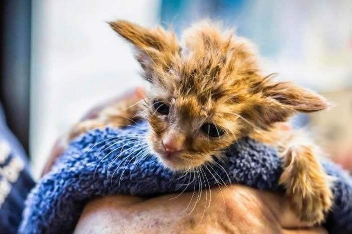 美国加州野火救出1只外型酷似《星际大战》尤达的猫咪