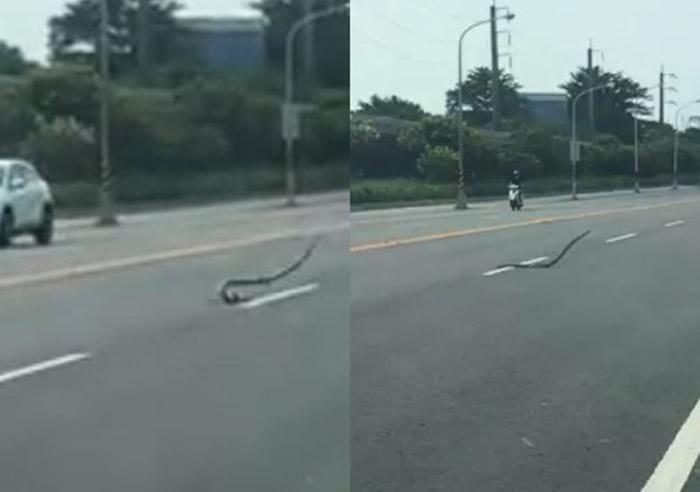 台湾屏东大蛇全身扭动在马路上跳舞引发热议