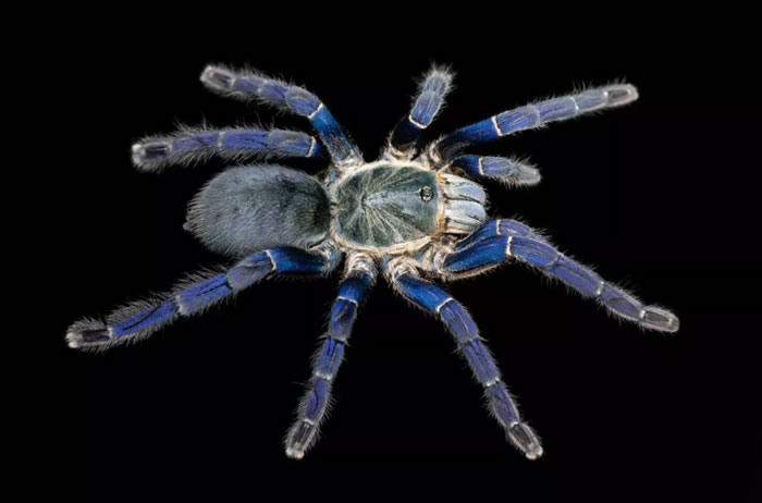 Hapolpelma lividum狼蛛为吸引配偶而进化出鲜艳的蓝颜色