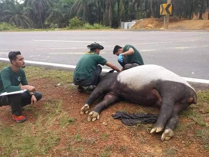 佛柔州发生的路杀事件造成马来貘死亡。(图/翻摄自Info Roadblock JPJ/POLIS)
