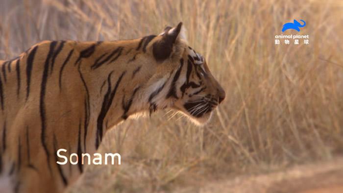 体型最壮硕的索娜姆成年后成为新的丛林之王