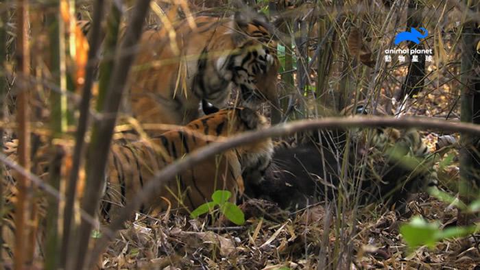 老虎4姊妹合作,连狩猎大黑熊都不是问题