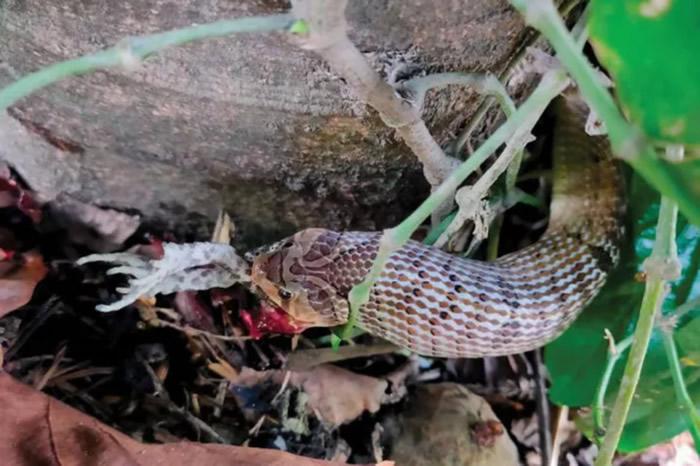 《Herpetozoa》:泰国Kukri蛇吃蟾蜍前先开膛破肚 或为躲避毒素