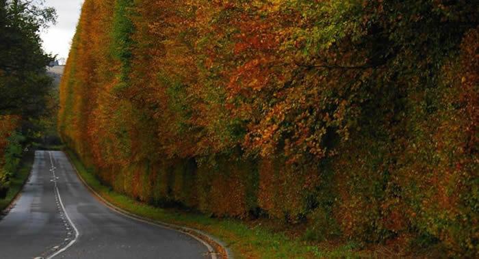 英国苏格兰梅克卢尔村树篱是世界上最高和最古老的树篱
